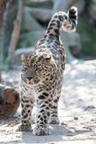 Amur leopard Arkivbild