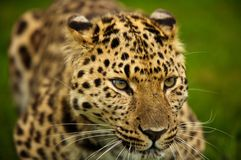 Amur Leopard. Leopard cropped tight as a portrait royalty free stock photo
