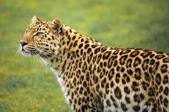 Amur Leopard. Leopard taken in profile. Top half of the body is shown and head turned towards camera royalty free stock images