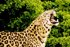 Amur-Leopard stockfotos
