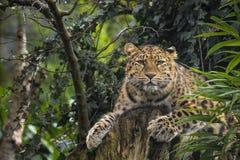 Amur leopard Arkivfoto