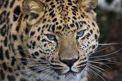 3 amur leopard Στοκ Εικόνες