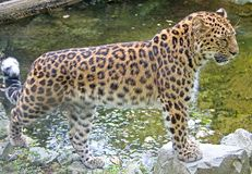 Amur Leopard 6. Amur leopard near the pond Stock Photo