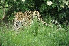 Amur Leopard 6. Amur Leopard laying in grass under tree royalty free stock images