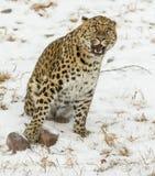 Amur leopard Arkivbilder