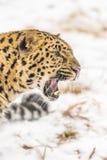 Amur leopard Royaltyfria Foton