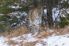Amur leopard Royaltyfri Foto