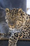 Amur leopard. An amur leopard staring at the camera Stock Photos