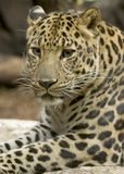 Amur Leopard. The Amur leopard is adapted to living in cold, snowy climates with their long legs and hair as well as living in regions with summer temperatures Stock Photo
