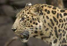 Amur Leopard. The Amur leopard is adapted to living in cold, snowy climates with their long legs and hair as well as living in regions with summer temperatures Royalty Free Stock Photo