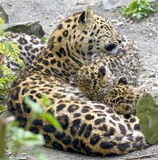 Amur leopard 9 Stock Photo