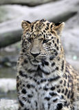 Amur leopard in captivity, Mulhouse Zoo, Alsace, France. Stock Photos