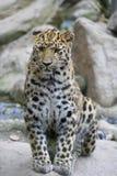 Amur leopard in captivity, Mulhouse Zoo, Alsace, France. Royalty Free Stock Photos