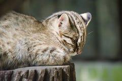 Amur Leopard Cat. Leopard cat sleeping in the sun - detail Stock Photo
