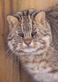 Amur leopard cat Stock Image