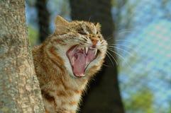 Amur leopard cat. (Prionailurus bengalensis euptailurus) shows his teeth stock images