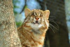 Amur leopard cat. (Prionailurus bengalensis euptailurus stock images