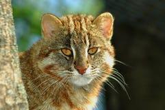 Amur leopard cat. (Prionailurus bengalensis euptailurus royalty free stock images