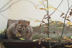 Amur leopard cat. Lying on the desk Stock Image