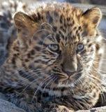 Amur leopard cub. Closeup of a female Amur leopard cub Stock Photo