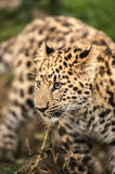 Amur Leopard Cub Royalty Free Stock Images