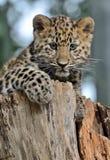 Amur-Leopard CUB Lizenzfreies Stockbild