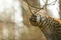 Amur leopard cub bite tree branch Royalty Free Stock Images