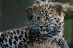 An Amur Leopard Cub. Lounges in a tree Stock Photography