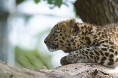 An Amur Leopard Cub. Lounges in a tree Stock Photo