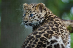 An Amur Leopard Cub. Lounges in a tree Royalty Free Stock Images