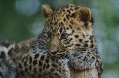 An Amur Leopard Cub Royalty Free Stock Photos