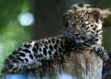 An Amur Leopard Cub Stock Images