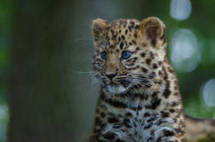 An Amur Leopard Cub Stock Photography