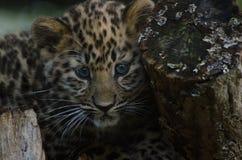 An Amur Leopard Cub Royalty Free Stock Photography