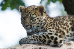 An Amur Leopard Cub Royalty Free Stock Images