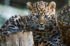 An Amur Leopard Cub Stock Image
