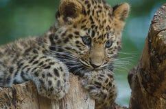 An Amur Leopard Cub Stock Photos