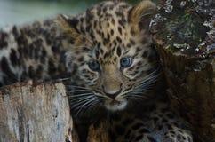 An Amur Leopard Cub Stock Images