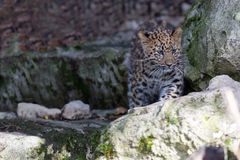 Amur Leopard Cub Royalty Free Stock Photo