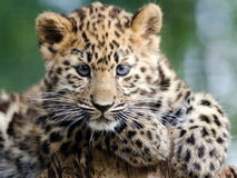 Amur Leopard Cub. An amur leopard cub sits and plays Stock Photography