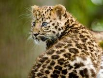 Amur Leopard Cub. An amur leopard cub sits and plays Stock Photo
