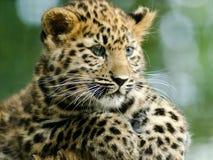 Amur Leopard Cub. An amur leopard cub sits and plays Royalty Free Stock Photo