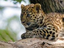 Amur Leopard Cub. An amur leopard cub sits and plays Stock Images