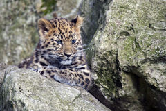 Amur Leopard Cub Royalty Free Stock Photos