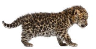 Amur leopard cub walking, Panthera pardus orientalis, 6 weeks old royalty free stock photography