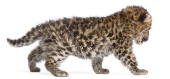Amur leopard cub walking, Panthera pardus orientalis, 6 weeks old stock photo