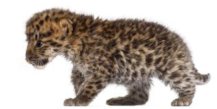 Amur leopard cub walking, Panthera pardus orientalis, 6 weeks old royalty free stock photo