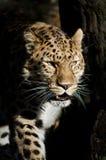 Amur-Leopard in den Schatten Stockfotografie