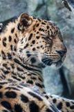 Amur-Leopard, der auf Felsen stillsteht Stockbild