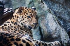 Amur-Leopard, der auf Felsen stillsteht Lizenzfreie Stockfotografie